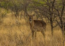 A waterbuck with one horn under a thorn tree royalty free stock photography