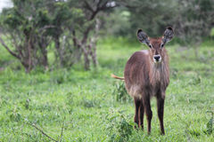 Waterbuck. One waterbuck at Ngorongoro Conservation Area Royalty Free Stock Images