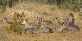 Waterbuck på den afrikanska slätten Arkivfoto