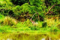 Waterbuck på den Olifants floden i den Kruger nationalparken i Sydafrika Royaltyfria Bilder