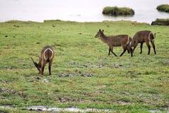 Waterbuck på flodbanken i Botswana Royaltyfria Bilder