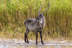 Waterbuck, parc de marécage d'iSimangaliso photos stock