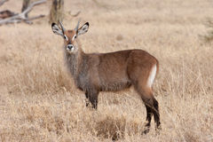 Waterbuck. Stock Photos