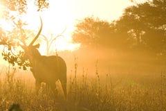 Waterbuck polvoriento (ellipsiprymnus del Kobus) en la puesta del sol Foto de archivo
