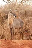 Waterbuck Portrait Stock Image