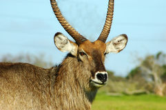 Waterbuck Portrait Stock Photography