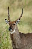 Waterbuck Portrait Royalty Free Stock Images