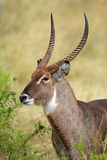 Waterbuck portrait Stock Photo