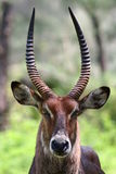 Waterbuck Portrait Stockbild