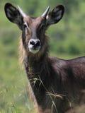 Waterbuck. Portrait of waterbuck in African savannah Royalty Free Stock Photos