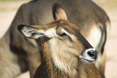 Waterbuck portrait. A female waterbuck antelope portrait stock images