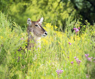 Waterbuck portrait with flowers Royalty Free Stock Photo