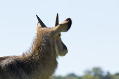 Waterbuck portrait Royalty Free Stock Photos