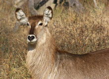 Waterbuck portrait Stock Photos