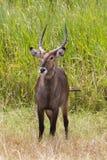 Waterbuck pozycja w trawie Zdjęcie Stock