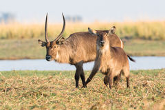 Waterbuck pushing a doe. Waterbuck during the rut pushing a doe Royalty Free Stock Image
