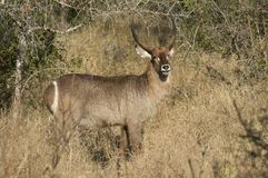 Waterbuck Ram. In Kruger Park with distintive white circle on rump Royalty Free Stock Photo
