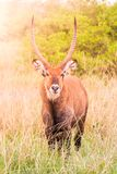 Waterbuck ram portrait in natural habitat, Maasai Mara National Park, Kenya, Africa.  Stock Photography
