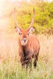Waterbuck ram portrait in natural habitat, Maasai Mara National Park, Kenya, Africa Stock Photography