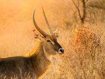 Waterbuck ram portrait in natural habitat, Serengeti National Park, Tanzania, Africa.  Royalty Free Stock Photo
