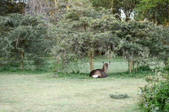 A waterbuck relaxing in the jungle near lake Naivasha Stock Photography