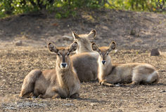 Waterbuck resting in Kruger NP Stock Image