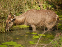 Waterbuck in river Stock Images