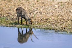 Waterbuck in the riverbank in Kruger National park, South Africa royalty free stock photos