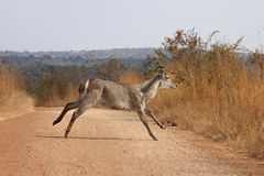 Waterbuck running Royalty Free Stock Images