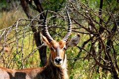 Waterbuck samiec w Kruger parku narodowym afryce kanonkop słynnych góry do południowego malowniczego winnicę wiosna Obraz Stock