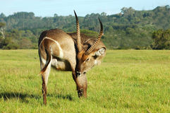 Waterbuck scratching. A full body of a male waterbuck with big horns scratching himself in a game park in South Africa Stock Photos