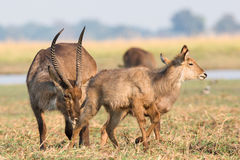 Waterbuck smelling a doe in heat. In Africa Stock Photography