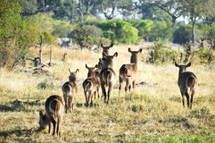 Waterbuck stado Obraz Royalty Free