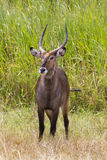 Waterbuck standing in grass Stock Photo
