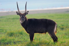 Waterbuck standing in the grass near the lake shot in Kenya Royalty Free Stock Image