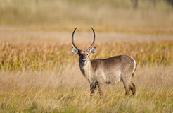 Waterbuck stood in grassland Stock Images