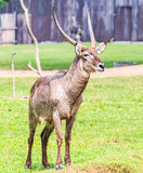 Waterbuck or Thompson gazelle Stock Images