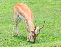 Waterbuck or Thompson gazelle Royalty Free Stock Image