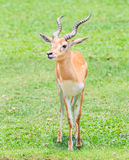 Waterbuck or Thompson gazelle Stock Photography