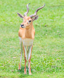 Waterbuck or Thompson gazelle Stock Image