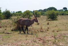 A Waterbuck Trotting Through the Bush royalty free stock image