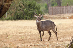 Waterbuck at Tsavo East, Kenya Stock Images