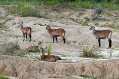 Waterbuck in Uganda Africa Stock Images