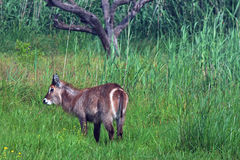 WATERBUCK IN THE VELD Royalty Free Stock Photo