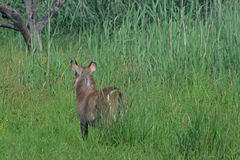 WATERBUCK IN THE VELD Stock Images