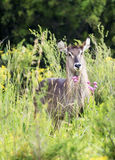 Waterbuck in veld with flowers Royalty Free Stock Photography