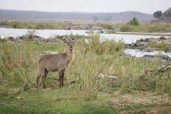 Waterbuck w Kruger parku narodowym fotografia royalty free