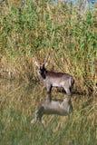 Waterbuck w rzece, Po?udniowa Afryka zdjęcia royalty free