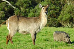 Waterbuck and warthog. A female waterbuck and a warthog in a game park in South Africa Stock Photos