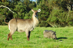 Waterbuck and warthog Stock Photography